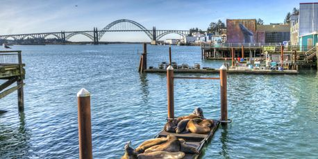 Newport Oregon Sea lions gather infront of Clearwater Restaurant docks 11 months out of the year.
