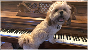 Cute dog standing at piano with paws on keys.