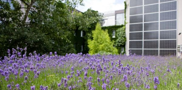 Lavender and solar panels on the roof of one of Vienna's greenest hotels