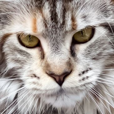 Oasiscoon Maine Coon