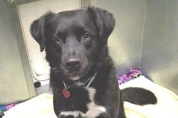 2 year old male Border Collie/Australian Shepherd mix