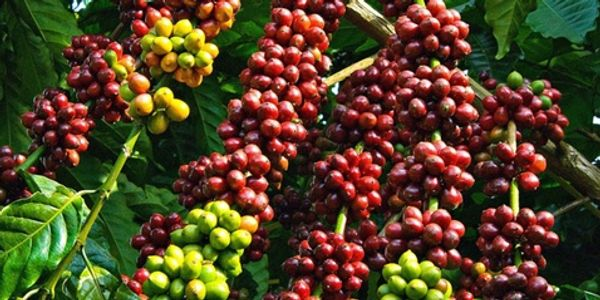 Coffee Growing in Nigeria. Coffee is of different species only two  namely; Arabica and Robusta,
