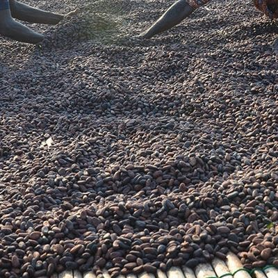 Fermentation and drying of Cocoa in Nigeria