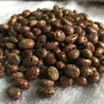 Castor seed is the source of castor oil, which has many uses in medicine and other application.