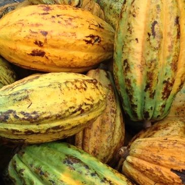Cocoa Farming/Production in Nigeria/ Cocoa Research Institute of Nigeria (CRIN)