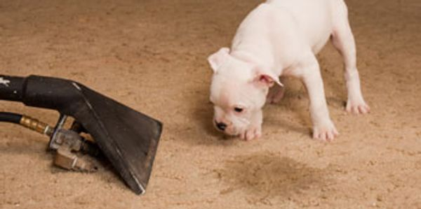 Removing pet stains and odor from a home with a cute puppy.