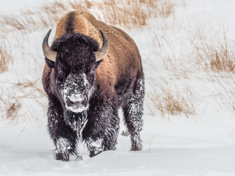 bison, wolves, yellowstone national park, winter, snow, photography workshop, snow coach, photo tour