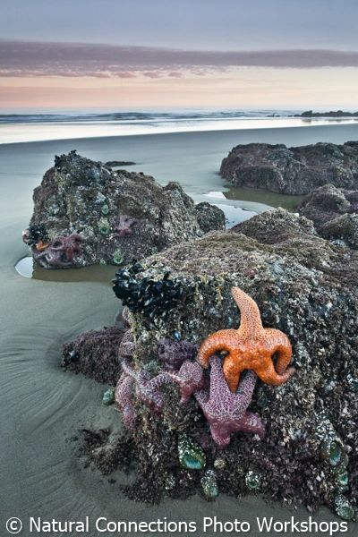 florence, oregon, strawberry hill, tide pool, sea stars, starfish, photo workshop, photo class, tour