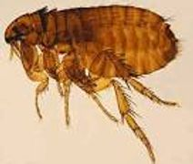 Picture of a cat flea