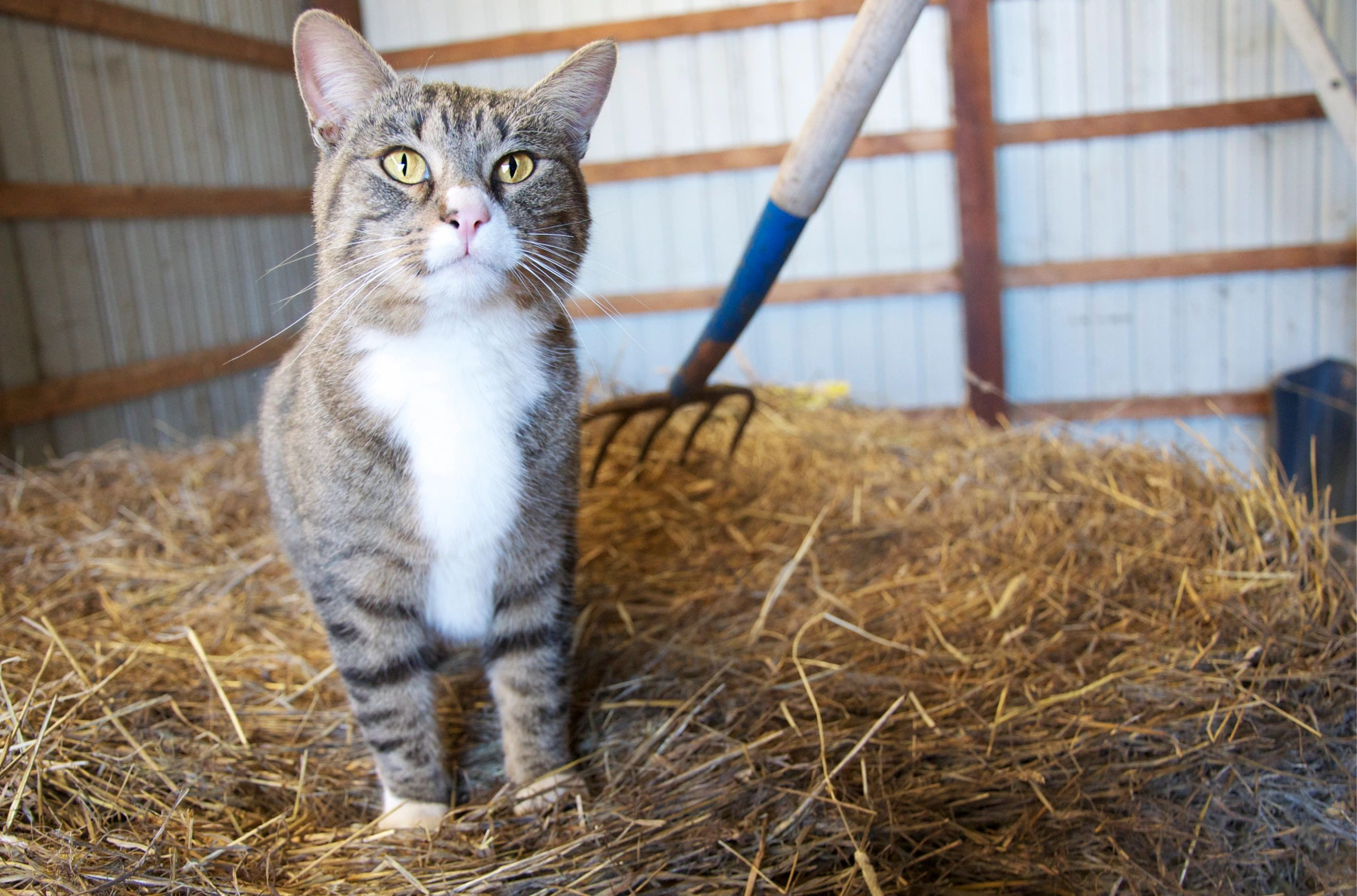 A barn cat on a stack of hay