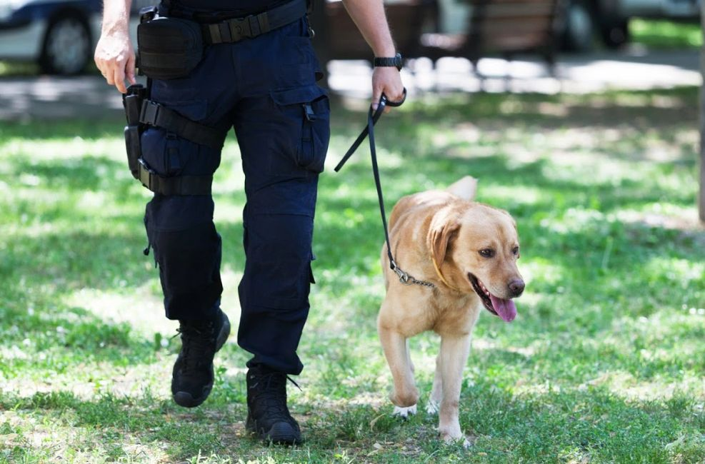 An officer walking a yellow lab on a leash
