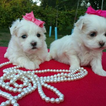 Yanush Family Pets - Puppies for Sale, Maltese Puppies