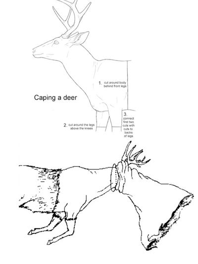 Proper technique for caping a deer