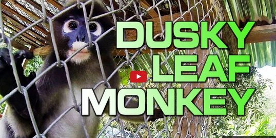 A Few Minutes with a Caged Dusky Leaf Monkey in Phuket, Thailand