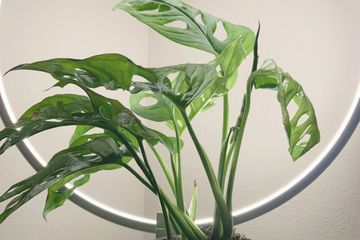Monstera Adansonii aka Swiss Cheese Plant