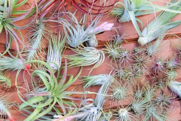 Tillandsia Tillsy Tillsie AirPlant Air Plant