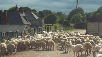 Sheep after being sheared, sheep in the farm yard