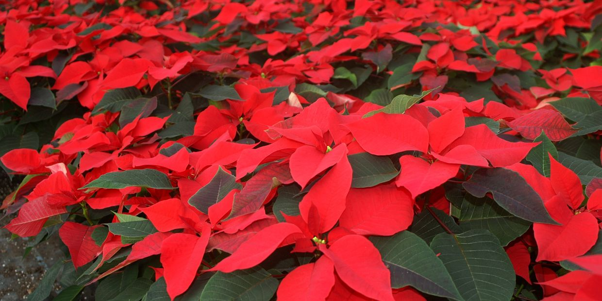a beautiful red poinsettia popular around christmas