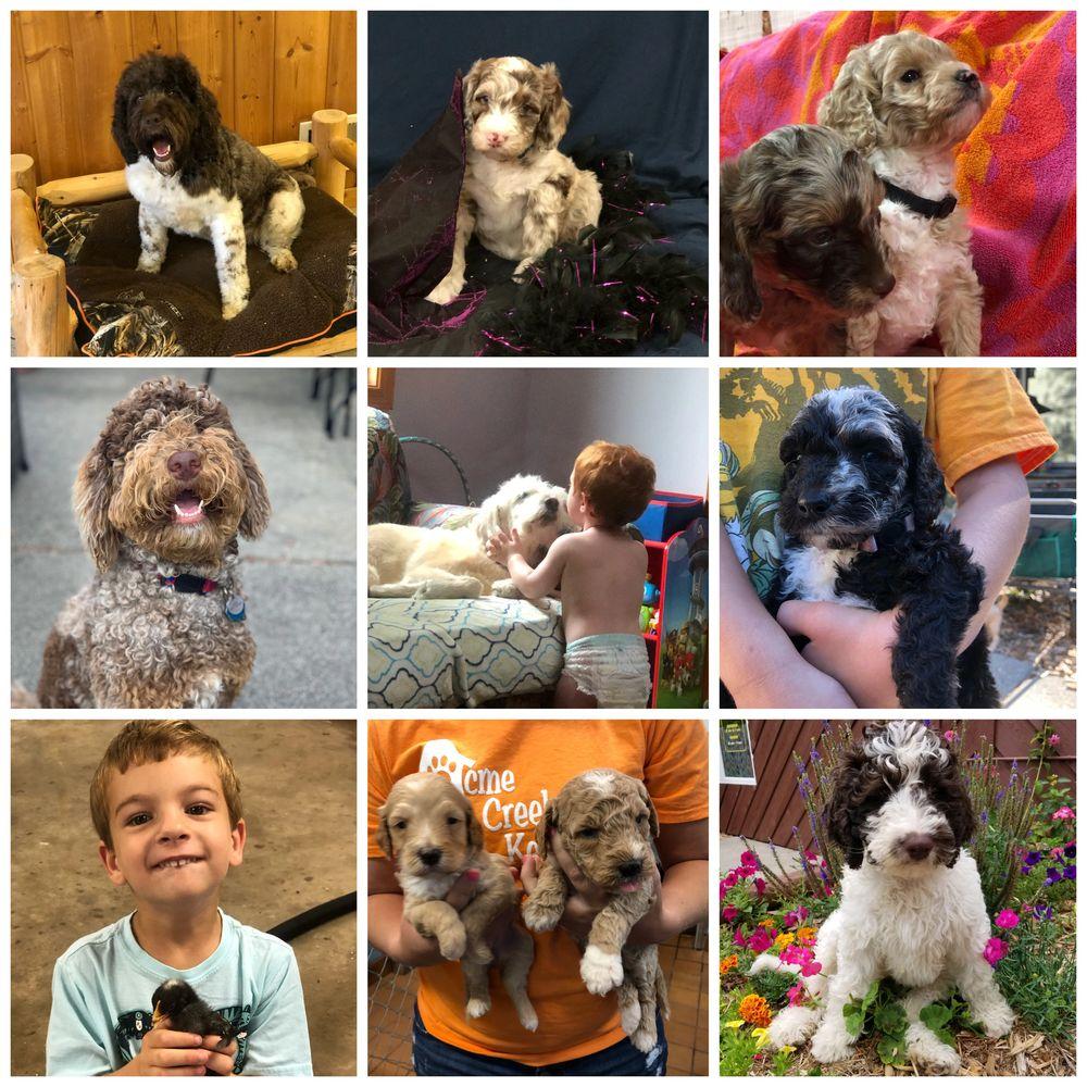 Labradoodle Puppies Acme Creek Labradoodles