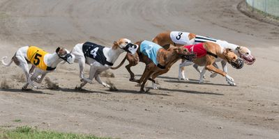 greyhound racing dogs
