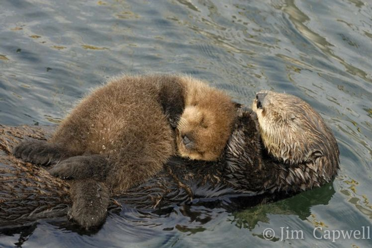 Sea otter photo by Jim Capwell