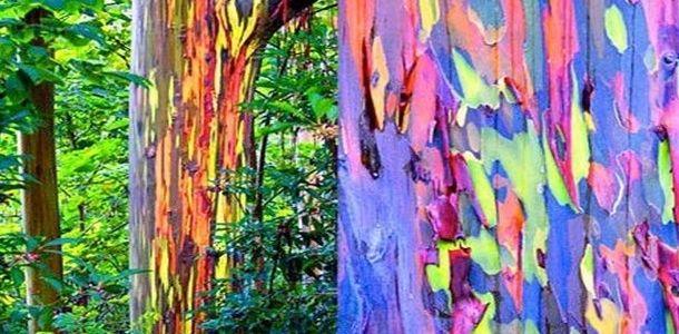 Cool Trees Multi Colored Bark Strange Trees Rainbow Eucalyptus