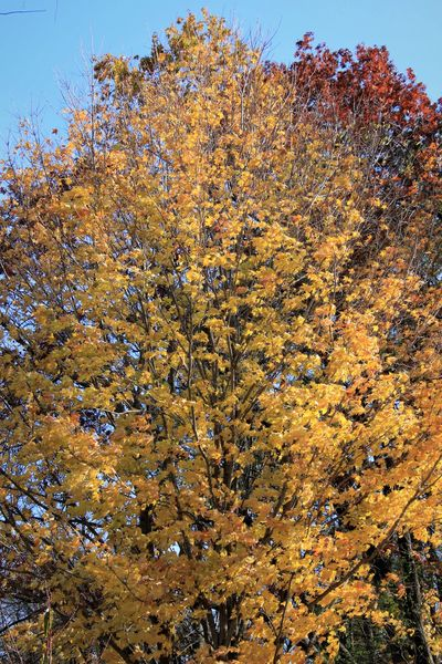 Sugar Maple - fall color