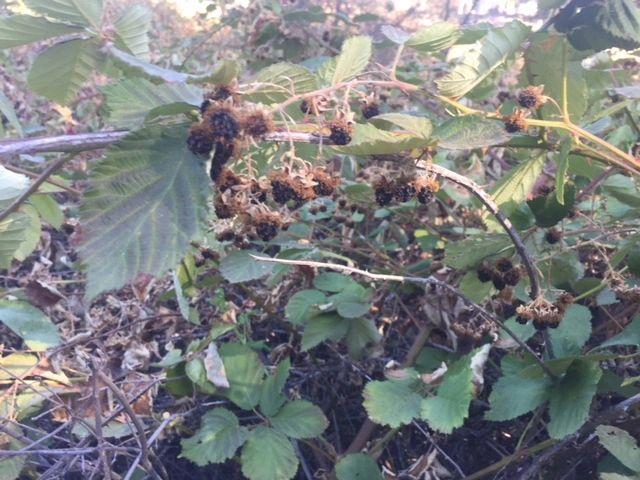 Blackberry (Rubus fruticosus species aggregate)