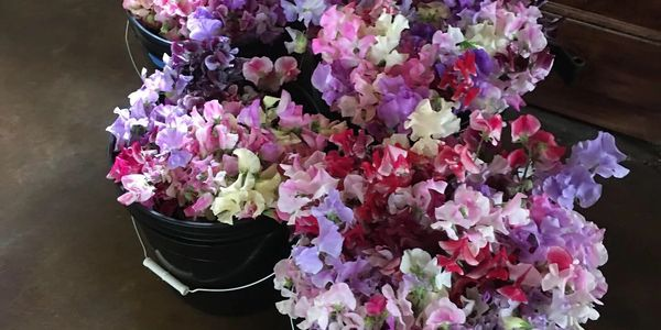 Buckets of sweet peas heading to a summer wedding!