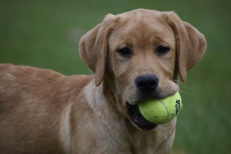 Chevy, available English yellow Labrador male pup