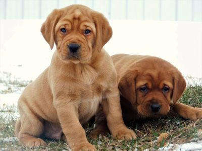 Gorgeous AKC English fox red Labrador pups
