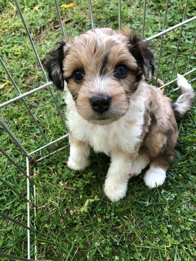 Mini Aussiedoodle Puppies Aussiedoodle Aussiedoodle Breeder