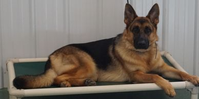 New Skete German shepherd dog laying on cot in training center.