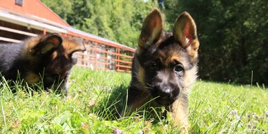 New Skete German Shepherd puppies laying in grass.