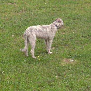 Irish Wolfhounds   Brook Pine Acres