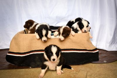 Border Collies | Bluegrass Land and Cattle Company