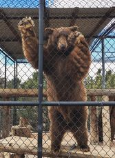 Gibbs the bear saying goodbye to our summer season. Animal Ark is closing for the winter today. Watc