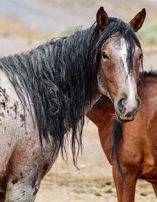 Wild Horse Connection is a non-profit in Northern Nevada,