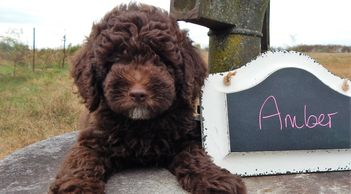 Solid chocolate mini labradoodle