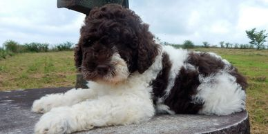 Chocolate parti mini labradoodle