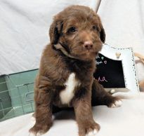 Chocolate Mismarked Mini Labradoodle