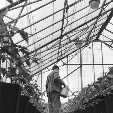 A prisoner watering tomatoes in a greenhouse