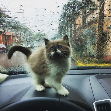 Seal mink mitted ragdoll kitten from Genotype Cats exploring the dash of a vehicle with rain drops!