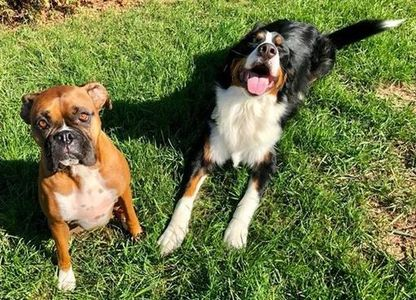 Boxer and a Bernese Mountain Dog sitting in the grass, dog visit, Brighton, MI