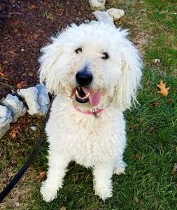 White Goldendoodle sitting on the lawn with her tongue hanging out, dog walk, Brighton, MI