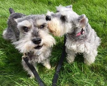 Two miniature Schnauzers standing in the grass, dog walk, Howell, MI