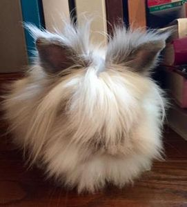Dwarf Lionhead rabbit sitting on the floor in front of some books, pet sitting, Howell, MI