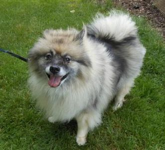 Tri color Keeshond standing in the grass, dog walk, Brighton, MI