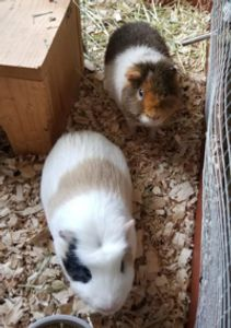 Two guinea pigs eating lunch, pet sitting, Brighton, Mi