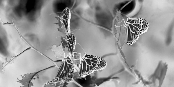 Black and white butterflies by the artist, photographer.